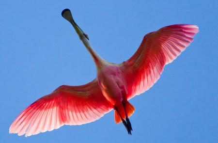 Click to enlarge image Wander thru walking paths to discover many famous birds, e.g. Roseate Spoonbill. - BeeGee's Tarpon Quarters - One bedroom, with king bed, one bath. LARGE condo with laundry, tile floors, Dog Friendly.Walk to the beach.